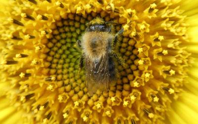 Die Tränen des Sonnengottes – ein bisschen Bienenmythologie